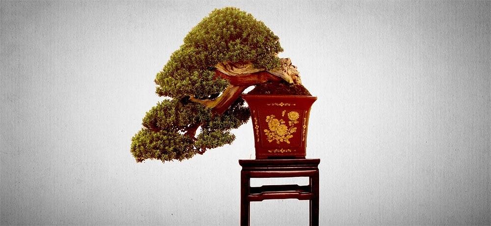 Bonsai Baum » Geschichte, Arten & Pflege Tipps! Ficus Ginseng Bonsai Einpflanzen Tipps