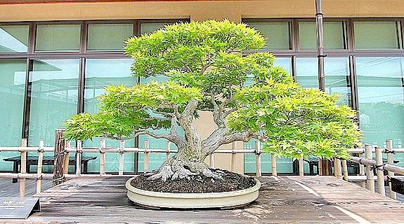 Bonsai Baum » Geschichte, Arten & Pflege Tipps!