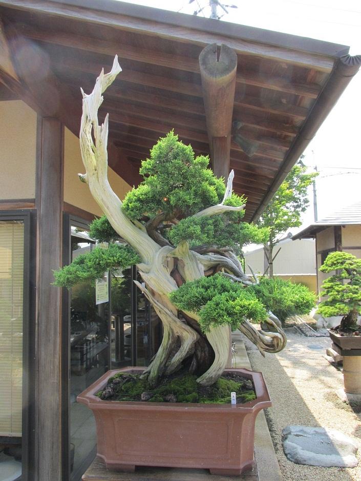 bonsai baum geschichte arten pflege tipps. Black Bedroom Furniture Sets. Home Design Ideas