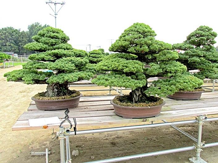 Bonsai Baum Geschichte Arten Pflege Tipps