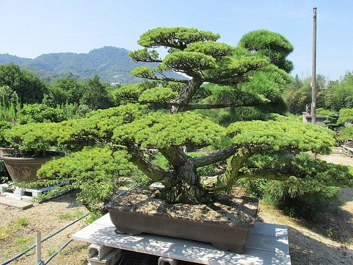 outdoor-bonsai-groesse